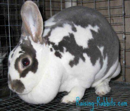 5 Indizi della coniglio incinta
