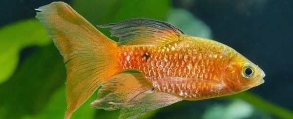 Anestesia nei pesci