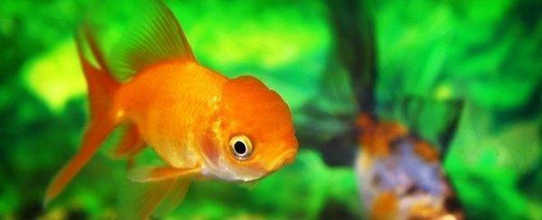 La scelta di un pesce rosso