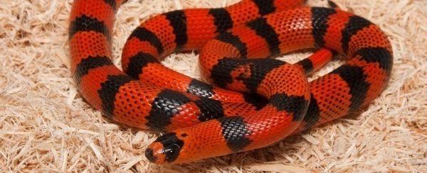 La scelta di un serpente del latte honduregno