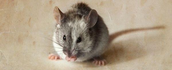 La scelta di un topo