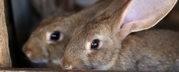 Scarico Ear in piccoli mammiferi