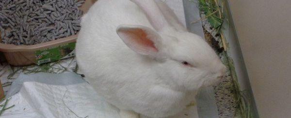 Ingrossi gastrico nei conigli