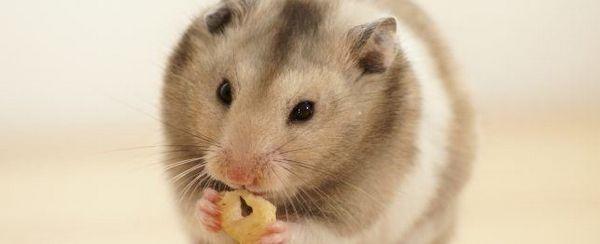 Cura Hamster