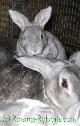 Raising coniglietti