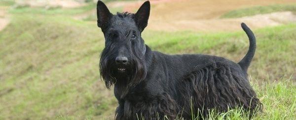 Nomi di cane scozzese