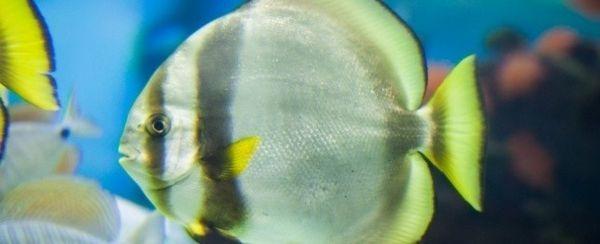 Raccontare un maschio da una femmina di pesce