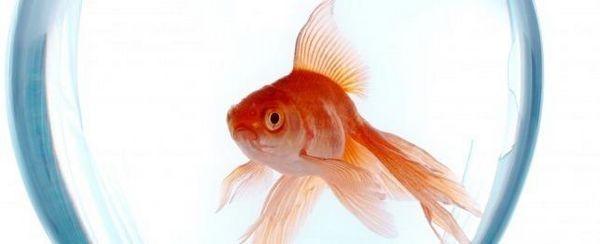 Il pesce rosso ed il pisello