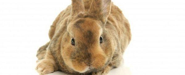 L`addestramento del vostro coniglio da usare la lettiera